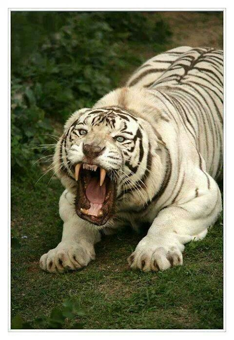 Big Teeth, Big Claws, Not Happy #tiger #teeth #stayback