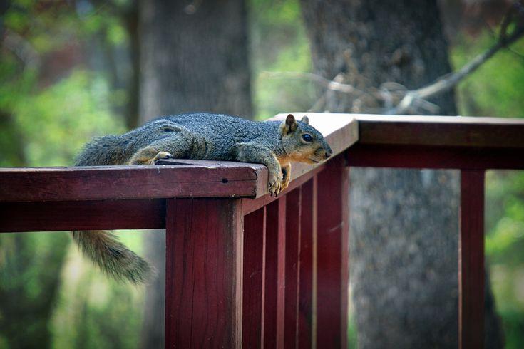 Fox Squirrel | Erin Rutledge | Flickr