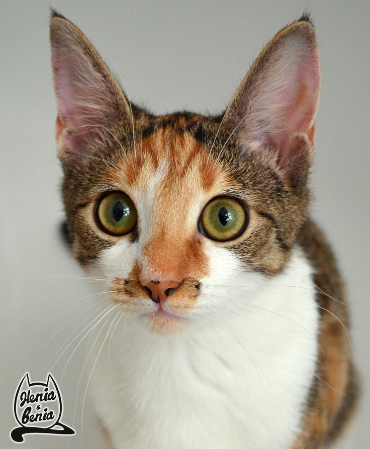 Benia  #cat #animals #pet #benia #henia