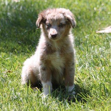 Litter Of 6 Australian Shepherd Puppies For Sale In Las Vegas Nv Adn 31937 On Puppyfinder Co Australian Shepherd Australian Shepherd Puppies Puppies For Sale