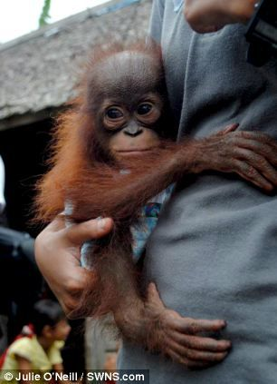 Safe: Noel the tiny orangutan is getting used to his new home