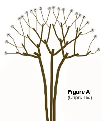 Pruning a Crape Myrtle - gives a nice diagram and instructions on how to correctly prune you tree. ;-)
