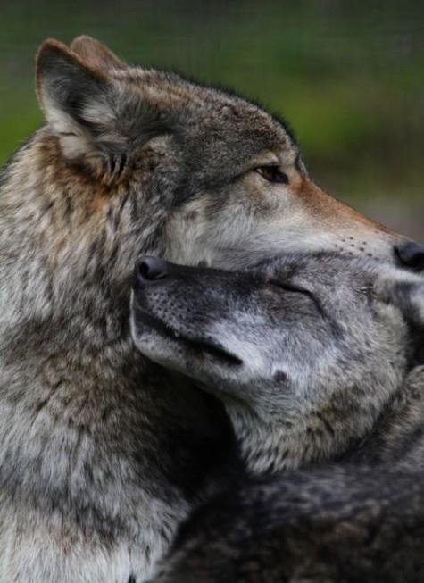lobos enamorados...