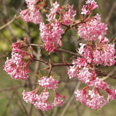 Viorne d'hiver - Viburnum bodnantense (x) 'Dawn'  flowers in winter!!