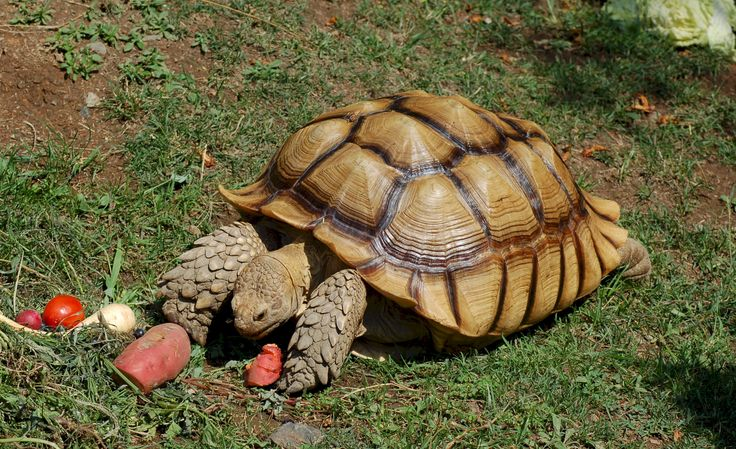 17 best images about tortoise on pinterest red footed tortoise to the african spurred tortoise is the largest tortoise in the world largest mainland tortoise most tortoises and turtles will have 13 plates which are publicscrutiny Gallery