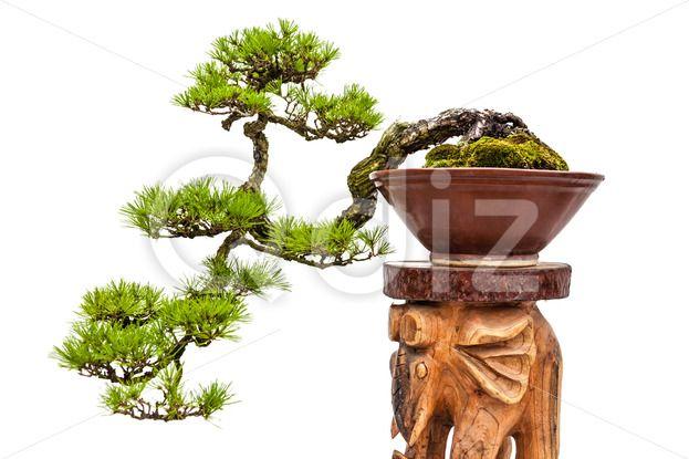 Qdiz Stock Photos | Bonsai pine tree in ceramic pot,  #asia #asian #background #bonsai #botanic #brown #ceramic #china #chinese #decoration #decorative #green #houseplant #japan #japanese #mini #miniature #nature #ornamental #pine #plant #pot #stand #traditional #tree #white #wooden #zen