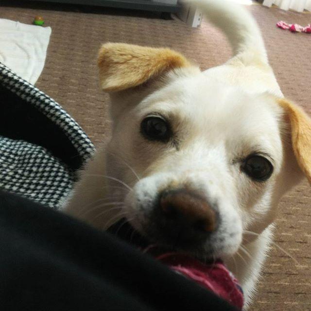 あーそぼ  #dog #dogs #igs_photos  #love#instagood #happ #ファインダー越しの私の世界  #写真撮ってる人と繋がりたい  #写真好きな人と繋がりたい #犬#いぬばか部#愛犬#耳タレ犬 #保護犬出身#ちばわん#ちばわん出身 #犬のいる暮らし#中型犬#中型犬mix