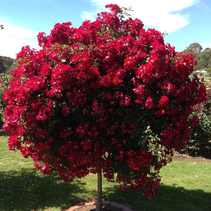 Beautiful blooms @ Werribee State Rose Garden......stunning!!!!!!