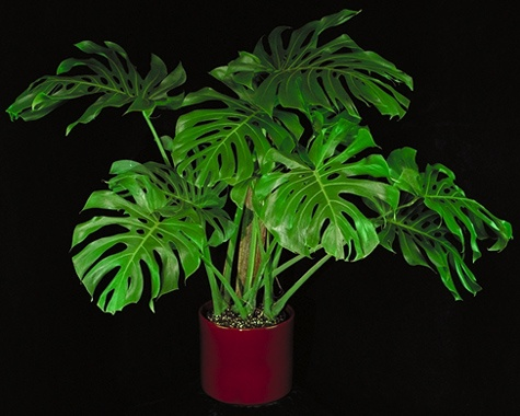 split leaf Philodendron | The Indoor Green | Pinterest