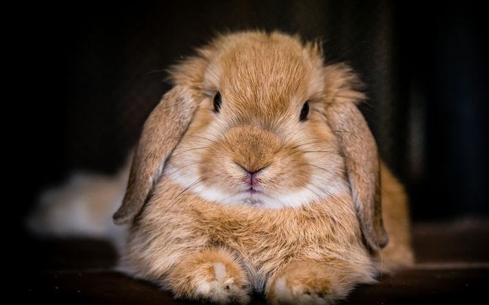 Download wallpapers Rabbit, cute animals, furry brown rabbit, pets