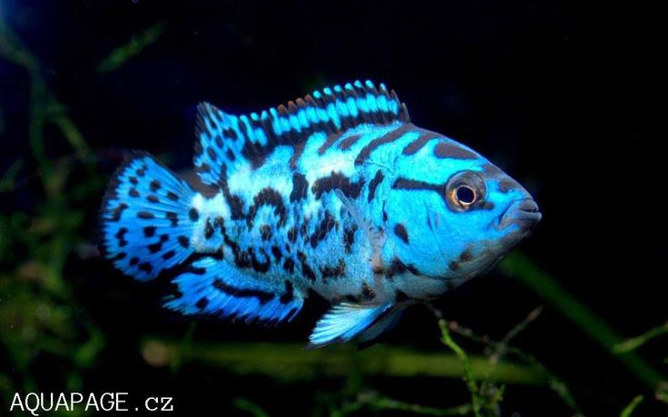 Electric Blue Jack Dempsey | Aquariums | Pinterest