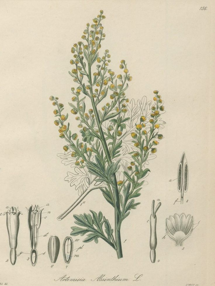 Wormwood, Absinthe - Artemisia absinthium - Medicinally Wormwood has been used to make a bitter tonic to stimulate appetite and improve digestion - circa 1885 www.swallowtailgardenseeds.com/herbs/wormwood.html