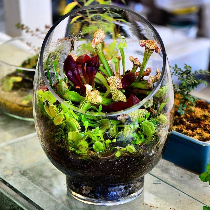 "Carnivorous plants or CP's are fairly easy to care for and keep healthy. Most simply require damp, nutrient poor soil such as sphagnum moss and sunlight. Venus Flytraps are the most ""fun"" and mix well with most pitcher plants and even a fewc lowland nepenthes."