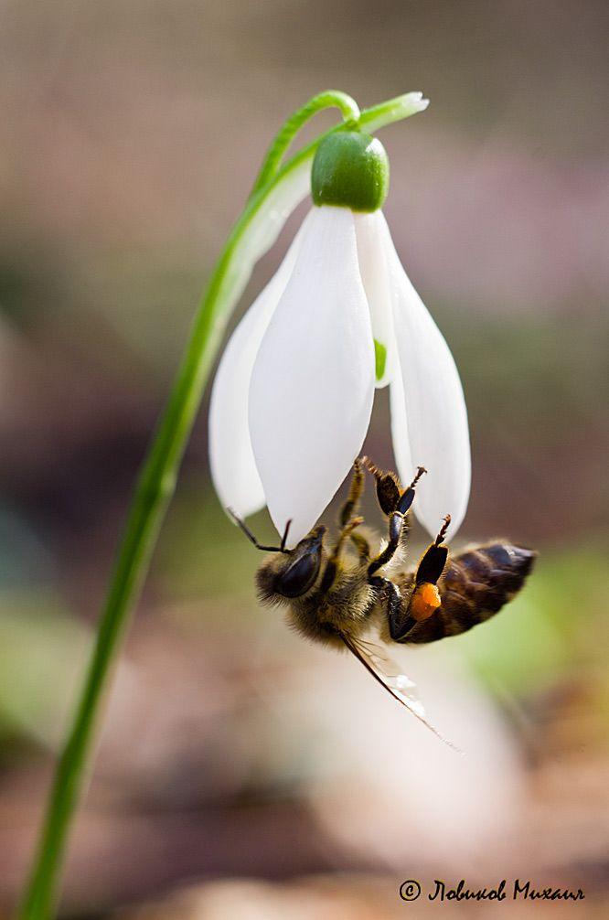 35PHOTO - Ловиков Михаил - пчела, опыляющая подснежник.   Lowick Mikhail