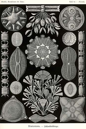 Diatoms. High quality vintage art reproduction by Buyenlarge. One of many rare…