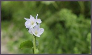 Common name: Water hyacinth. Scientific name: Eichhornia crassipes. Family: Pontederiaceae. Genus: Eichhornia. Plant Type: Herbaceous perennial. Flowering Time: June - September. Flower Color: Lilac to lavender.