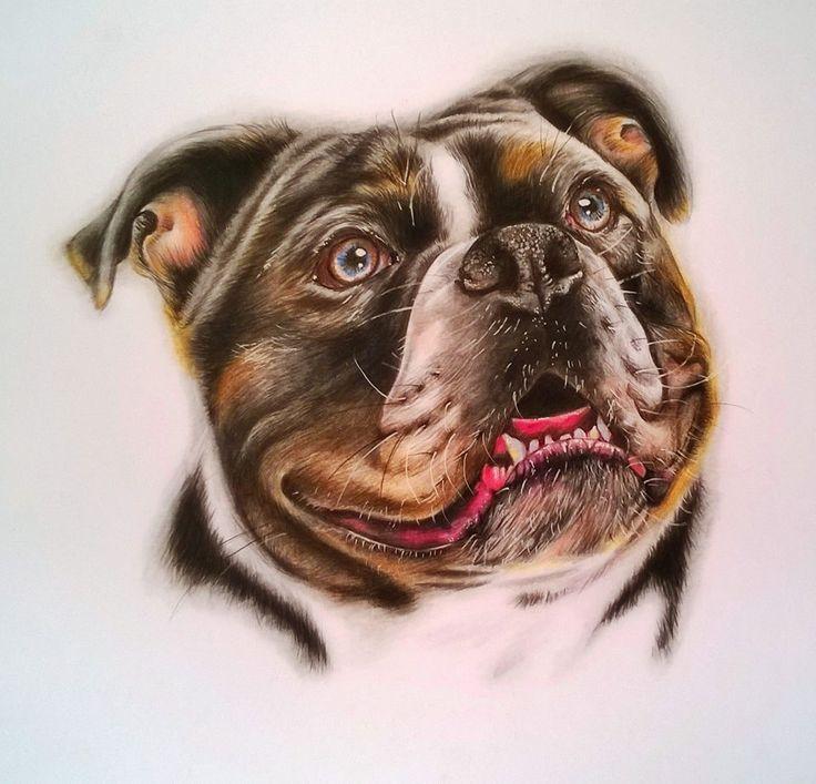'Bulldog'  coloured pencil www.helensgreen.co.uk