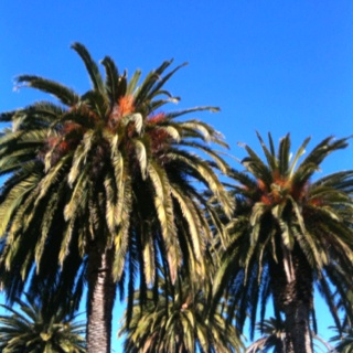 """Balmy Palmy"" - palm trees in the Esplanade"