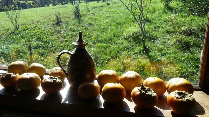 Persimmons ripening on the windowsill. #orchard #newzealand