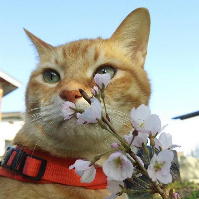 #凛太朗です 青空と桜と私 愛するあなたのため 毎日頑張っていたいから 時々ドライのささみ買ってね 愛するあなたのため マッスルでいさせて  #凛太朗 #愛猫 #cat #cats #catstagram #rinstagram #猫 #mix #デブ猫 #デブとは呼ばせない #茶トラ #茶トラ男子部 #茶トラ猫 #自宅警備員 #守るのは宅内のみ #外は範疇外 #ビビり #ビビ凛太朗 #しましましっぽ倶楽部 #イケにゃん #イケメン猫 #桜 #花見 #お花見なう #花見猫 #部屋とTシャツと私