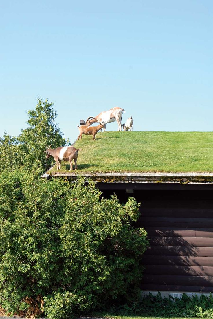 Homestead Helpers Sheep Cattle Pigs and Poultry | Green roofs The roof and Read more : roof meadow - memphite.com
