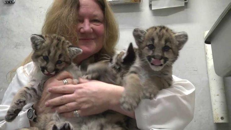 Des bébés cougars