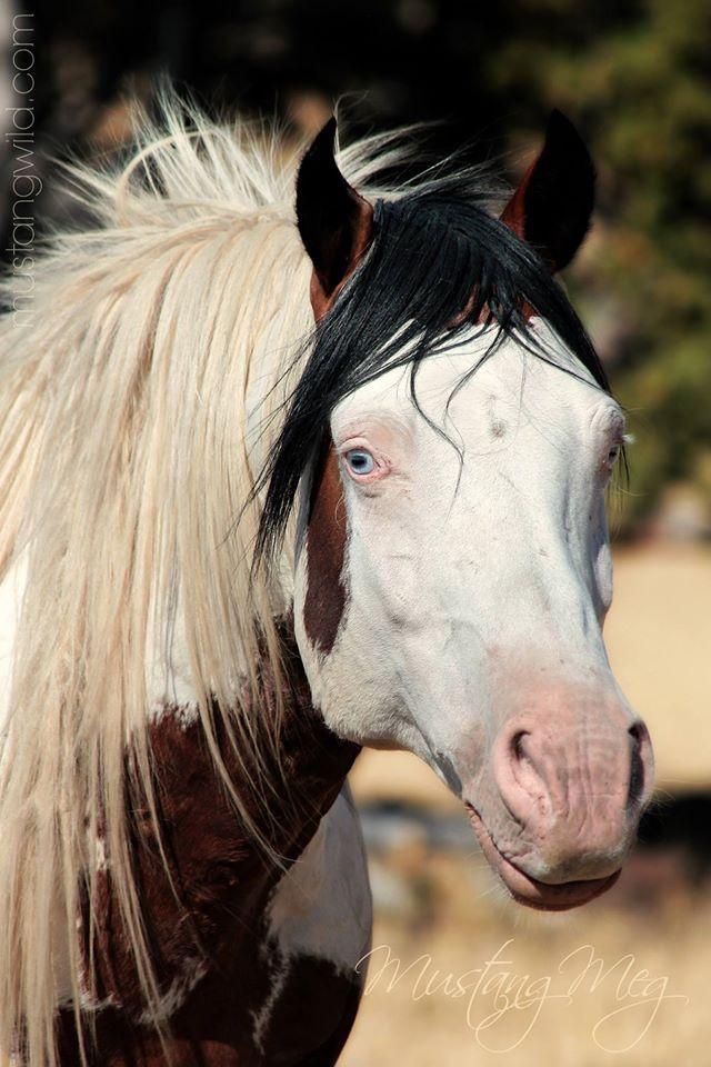 Wild pinto stallion, Shaman, South Steens