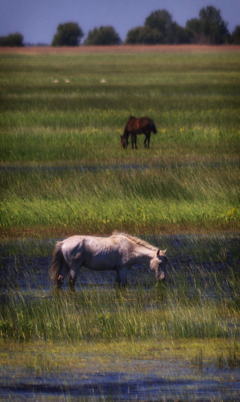Horses in Letea Forest - Danube Delta