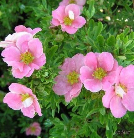 Mochna křovitá Lovely Pink ®