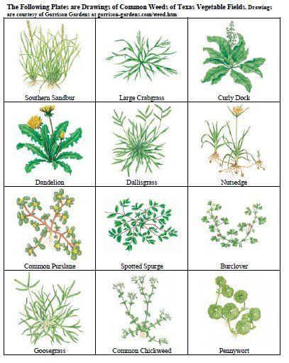 Common Weeds Http Aggie Horticulture Tamu Edu