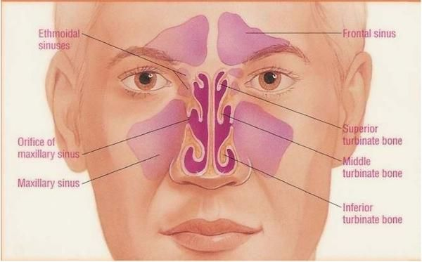 how to drain the maxillary sinuses - Google Search ...