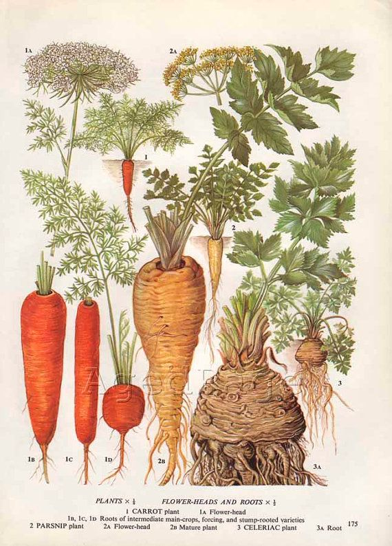 Vintage Vegetable Botanical Print Food Plant Chart Art