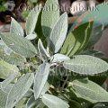 Echter Salbei, Gartensalbei Salvia officinalis Salbei Blätter (Salvia officinalis) blaugrün, l......