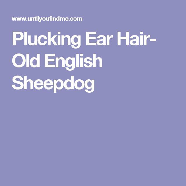 Plucking Ear Hair- Old English Sheepdog
