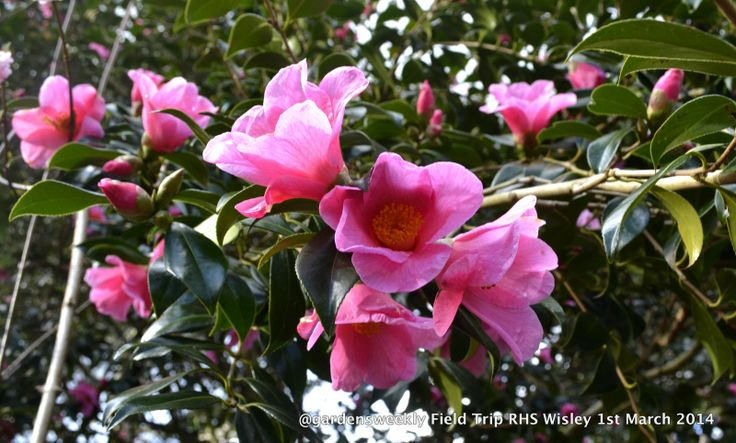A vibrant pink Camellia with a superb cup shape base