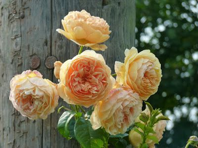 Crownprincess Margareta,