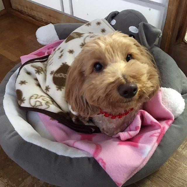 おはようございます 今日は雨だワン☔️ ・ ・ #おはようございます#ダップー部#ミックス犬愛好会#シュナベッド#ドッグベッド#愛犬#わんすたぐらむ#ワンコ#わんこ#犬#いぬばか部