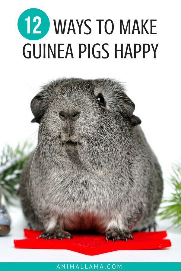 Pin On I Love Guinea Pigs