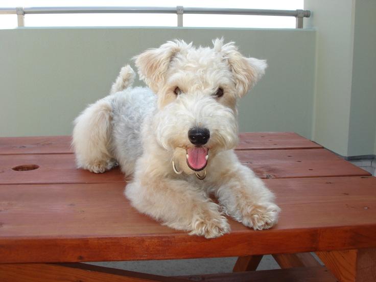 Lakeland Terrier  on the deck