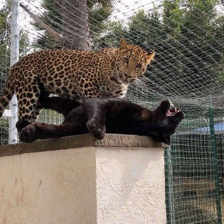 いいね!28.2千件、コメント100件 ― Black Jaguar-White Tigerさん(@blackjaguarwhitetiger)のInstagramアカウント: 「With Love to @bethostern and Fiona from their crazy girls... #BabyBethBJWT #BabySchatziBJWT…」
