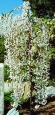 (OT) Snow Fountains Weeping Cherry.  Small ornamental tree.