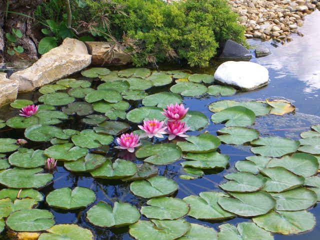 piante acquatiche ossigenanti palustri vivavio sommerse laghetto laghetti pianta