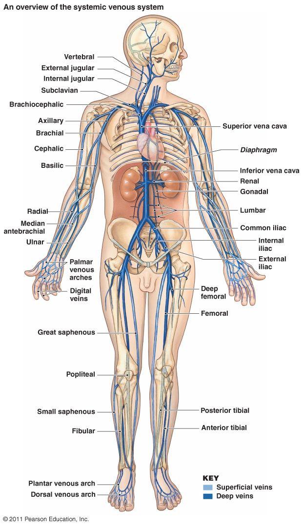 17 best images about arteries and veins on pinterest. Black Bedroom Furniture Sets. Home Design Ideas