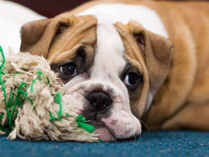 Cute bulldog.