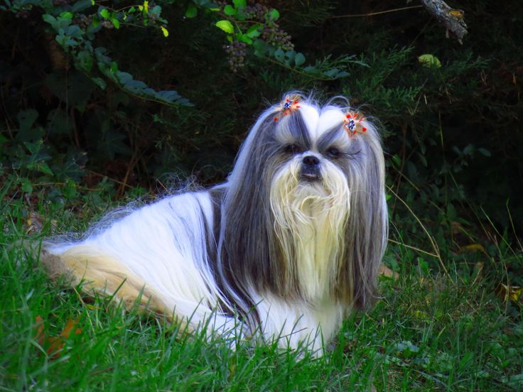 long haired shih tzu 1000 images about long haired shih tzu on pinterest 6625