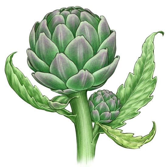 All About Growing Artichokes - Organic Gardening - MOTHER EARTH NEWS