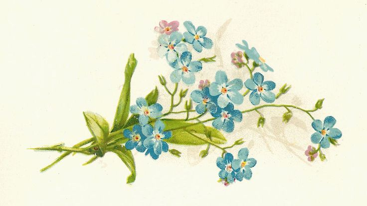 Vintage illustration of Forget-Me-Nots.  For cards, scrapbooking, printing & framing, gift tags, altered art, decoupage, or loving for it's own sake.