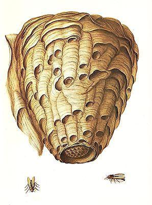 1977-VINTAGE-LAROUSSE-HORNET-NEST-AMAZING-STUNNING-COLOR-Art-Print-Lithograph