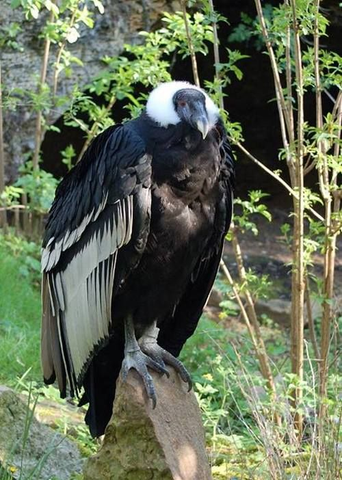 Andean condor - the national animal of Colombia and is one of the largest birds of prey in the world, weighing as much as 20 to 25 pounds.