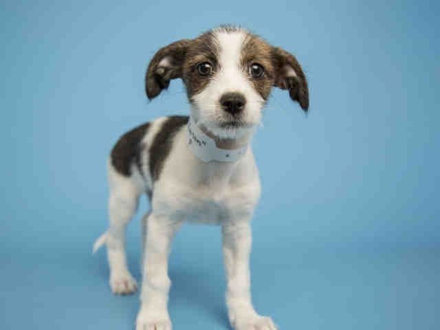 Meet RAISIN, an adoptable Jack Russell Terrier (Parson Russell Terrier) looking for a forever home. If you're looking for a new pet to adopt or want information on how to get involved with adoptable pets, Petfinder.com is a great resource.
